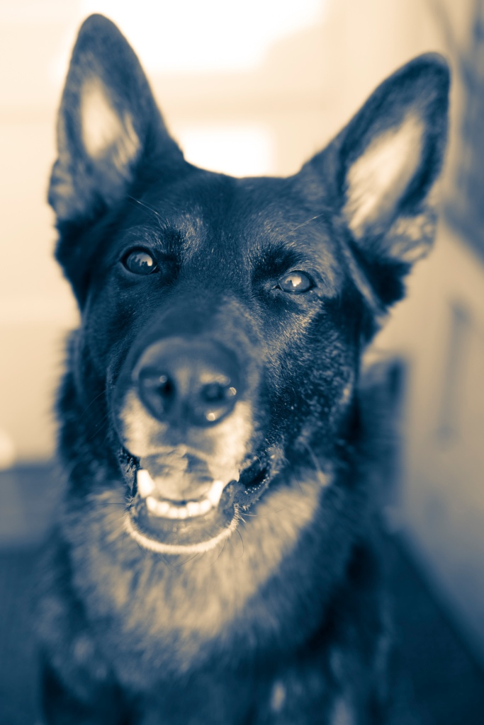 Split tone German Shepherd